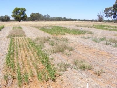 Figure 2. Millet and herbicide treated plots had very few witchgrass plants while they reached high numbers in the nil treatment plots.