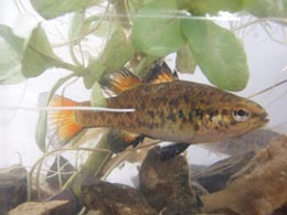 Southern Pygmy Perch