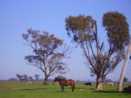 Horse and trees in a paddock
