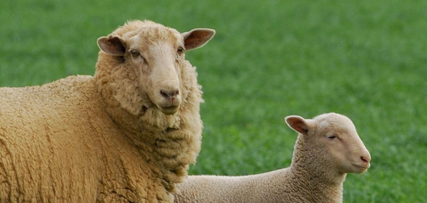 Photo - Ewe & lamb