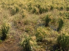 Photo courtesy of John Broster: Herbicide Resistance in Rice.