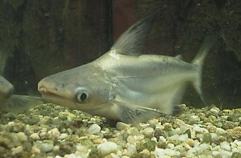 Mekong salmon