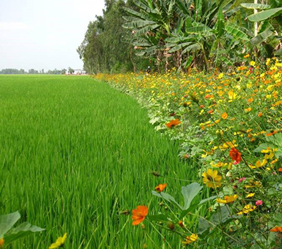 Research in Asia has shown the benefit of growing flowering crops on the margins of rice fields