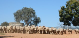 The Graham Centre�s 2016 Sheep Forum will present the latest research findings around issues of key relevance to producers and the Australian sheep industry.