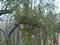 Santalum mistletoe