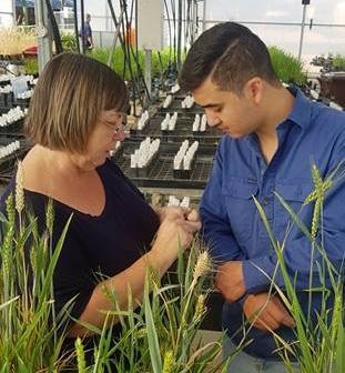 Ramon Atayde (CSU) and Kerrie Ramm (CSIRO) inspecting developing grains in wheat mutants at CSIRO, Canberra.