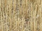 Stubble-review-to-guide-future-grains-industry-investments-in-relevant-RD&E