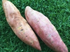 Photo Courtesy of Toni Nugent - Sweet Potatoes.
