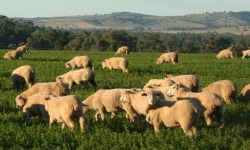 Sheep grazing 250x150