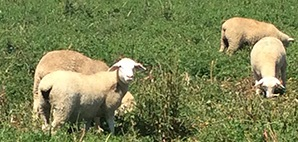 Photo: Graham Centre lamb meat quality trial (Photo courtesy of Bernadette York, NSW DPI).