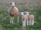 Photo courtesy of Toni Nugent: ewe and lambs.
