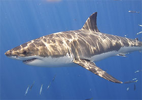 Great white shark, Elias Levy