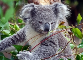 Koala Pic by Michael Elliot