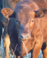 Producers-will-hear-from-leading-Australian-and-International-beef-industry-experts-at-the-Business-of-Beef-Forum-in-Blayney-on-7-August-2014