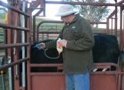 high-quality-handling-in-the-feedlot-and-on-farm-is-crucial-for-welfare-and-performance-in-the-feedlot