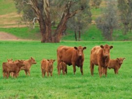 Red cows and calves in a paddock