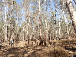 river red gums