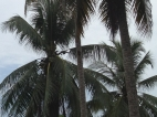 Photo courtesy of Geoff Gurr: Coconut palms.