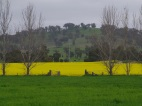 Mixed farming systems - canola and pasture.