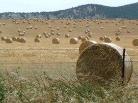Round hay bales in a summer paddock
