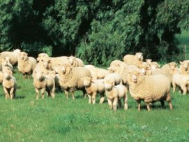 Mob of sheep in a paddock