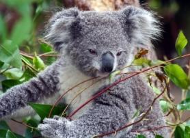 Koala Pic by Michael Elliot